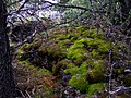 Moss on Lava - panoramio.jpg