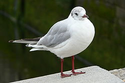 Mouette rieuse by M. Riegler.jpg