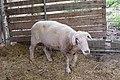 Mouton (19).jpg