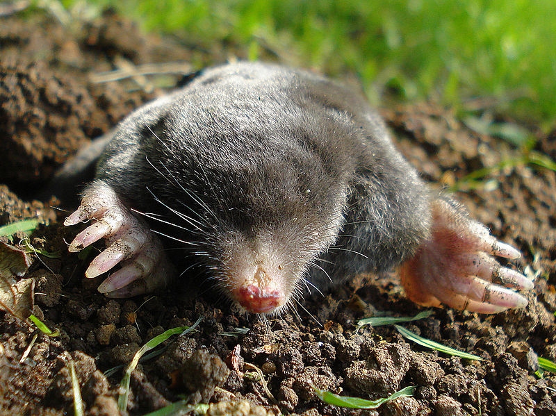 File:Mr Mole.jpg