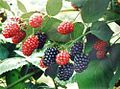 Mulberry009.jpg