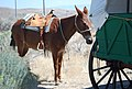 Mule at wagon (13898047628).jpg