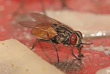 Musca domestica housefly.jpg