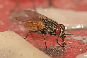 Housefly - Image: Musca domestica housefly