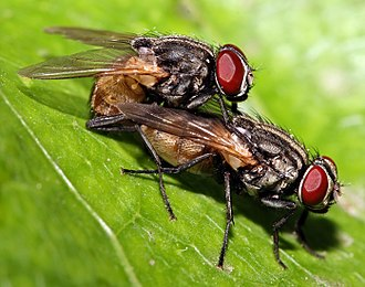 Housefly - Houseflies mating