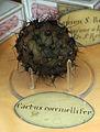 Museo di botanica, modelli in cera, frutti, cactus coccinellifer.JPG