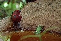Mwagusi firefinch