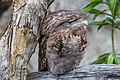 NQld Frogmouth-03 (11358772584).jpg