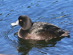 NZ Scaup 03.jpg