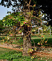 Naglingam (Couroupita guianensis) flowering trunk in Hyderabad, AP W IMG 6608.jpg
