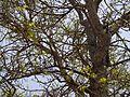 Naringi crenulata (5656910398).jpg