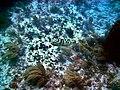Nassau grouper Marker32 2010.jpg