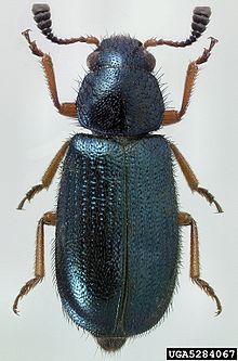 Necrobia Rufipes Wikipedia