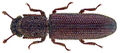 Neotrichus foveatus (Pope, 1955) (30204124362).png