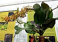 Nepenthes spathulata Exhibition of Carnivorous Plants Prague 2015 2.jpg