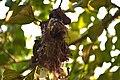 Nest of Tailor Bird.jpg