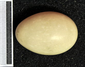 Red-crested pochard - Egg, collection Museum Wiesbaden