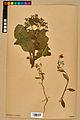 Neuchâtel Herbarium - Borago officinalis - NEU000020583.jpg