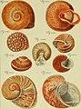 Neues systematisches Conchylien-Cabinet (1795) (14592525089).jpg