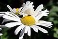Nipponanthemum nipponicum 0zz.jpg