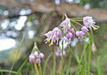 Nodding Onion, San Juan Islands (14964034089).jpg