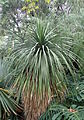 Nolina parviflora kz1.JPG