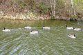 Nonconformist goose (2326789003).jpg