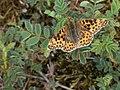 Noordwijk - Kleine parelmoervlinder (Issoria lathonia) v2.jpg