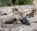 Northern Wheatear. Oenanthe oenanthe. 1st winter - Flickr - gailhampshire (1).jpg