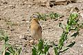 Northern Wheatear (Oenanthe oenanthe) female (25948737744).jpg