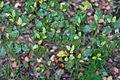 Nothofagus fusca - RHS Garden Harlow Carr - North Yorkshire, England - DSC01183.jpg