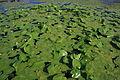 Nuphar variegatum 1 PP.jpg