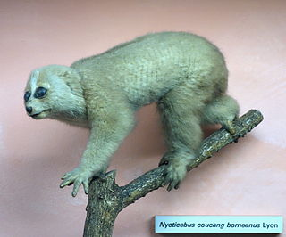 <i>Nycticebus borneanus</i> Species of primate