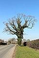 Oak tree, Barnston.jpg