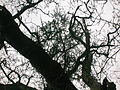 Oak tree epiphyte.JPG