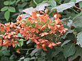Oakleaf Hydrangea.jpg