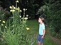 Oenothera.jpg