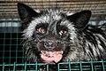 Oikeutta eläimille - Fur farming in Finland 10.jpg