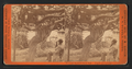 Old Mammoth Grape Vine, from Robert N. Dennis collection of stereoscopic views.png
