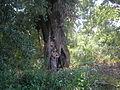 Old poplar.JPG