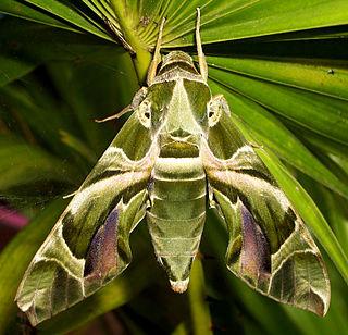 <i>Daphnis nerii</i> Species of Moth