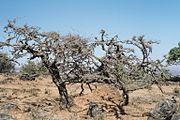 Frankincense trees in Dhufar, Oman