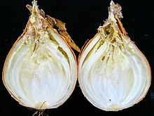 https://upload.wikimedia.org/wikipedia/commons/thumb/8/87/Onion_%28Allium_cepa%29-_Bacterial_soft_rot.jpg/220px-Onion_%28Allium_cepa%29-_Bacterial_soft_rot.jpg