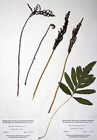 Onoclea sensibilis BW-1979-0506-0562.jpg