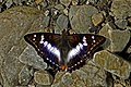 Open wing position of Mimathyma ambica Kollar, 1844 – Indian Purple Emperior WLB DSC 8265 .jpg