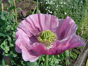 Ethnomedicine - The opium poppy Papaver somniferum, used in traditional medicine for millennia, is the source of the alkaloids morphine and codeine.