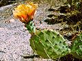Opuntia erinocarpa, Barker Dam Trail 7185 RobbHannawacker.jpg