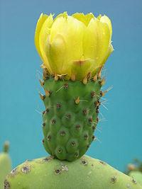 200px-Opuntia_ficus-indica_foto_Roberto_Tonetti_jun2007.jpg