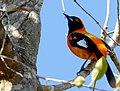 Orange-backed Troupial (Icterus croconotus).jpg