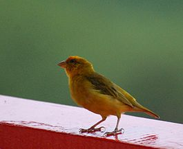 Orange-fronted Yellow-finch.jpg